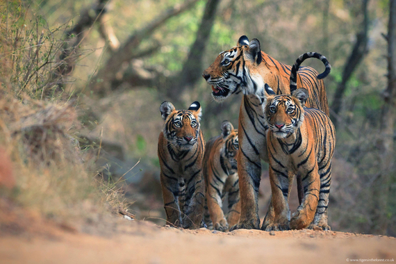 2014-12-02-Mike_Vickers_Tiger_Familycolorcorrect.jpg