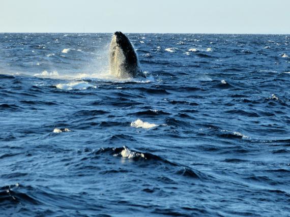 2014-12-10-WhaleMauiMaalaeaBayHarbor_cSueSalisbury_FlickrCreativeCommons.jpg
