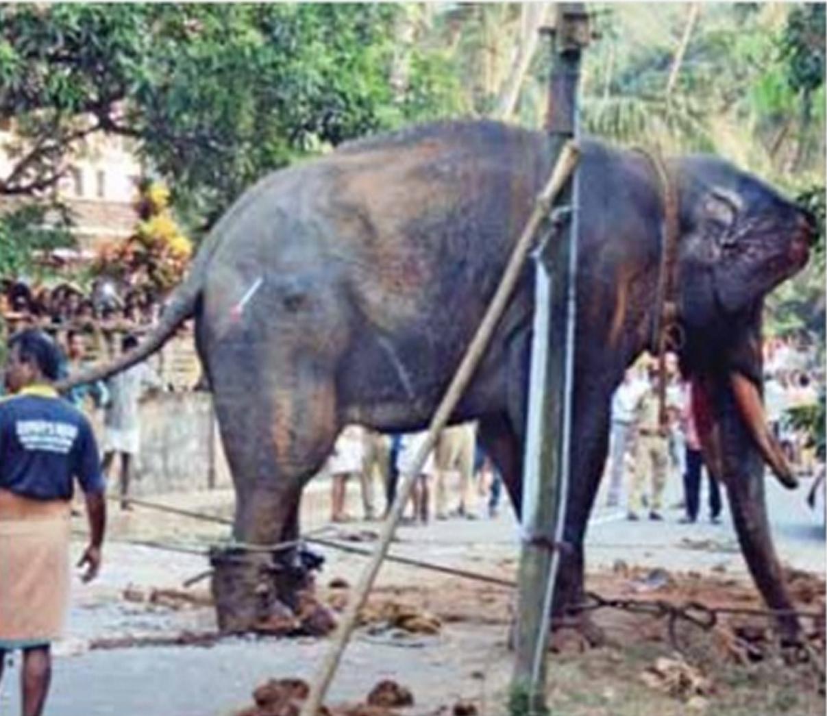 Elephant Cruelty... - Pinnawala Elephant Orphanage