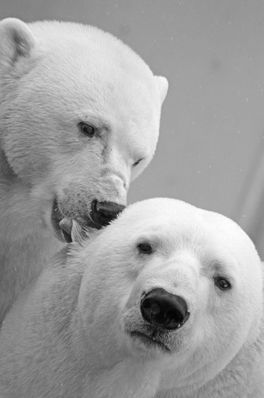 2014-12-15-polarbear196317_640.jpg