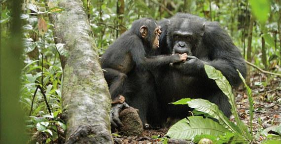 2014-12-16-ChimpanzeeStill.jpg