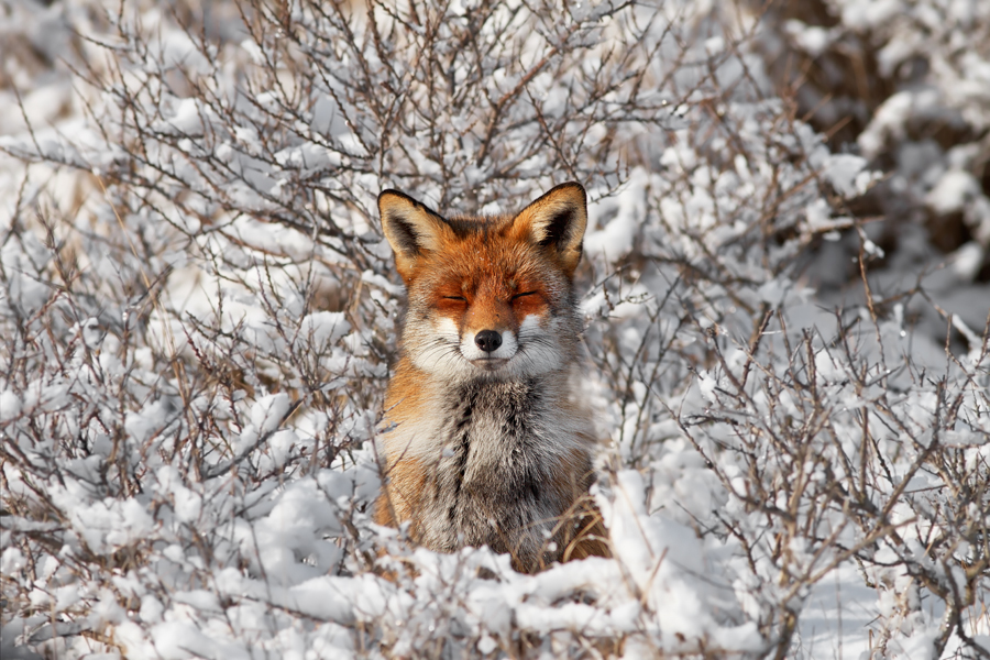 red fox in snow - photo #19