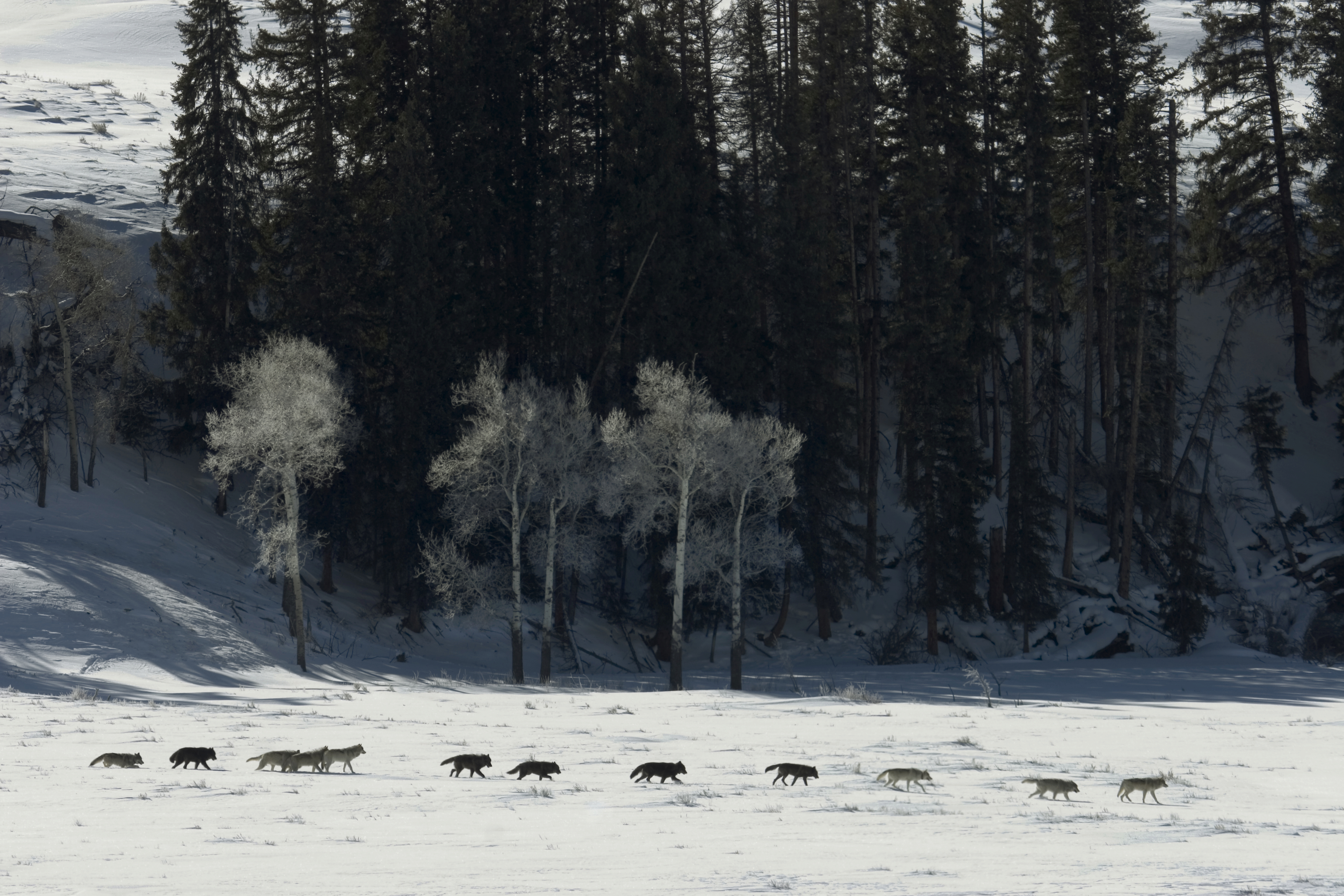 wolf reintroduction to yellowstone park That was the last recorded sighting of a gray wolf in the yellowstone park land   aldo leopold (who advocated the reintroduction of the wolf to yellowstone as.