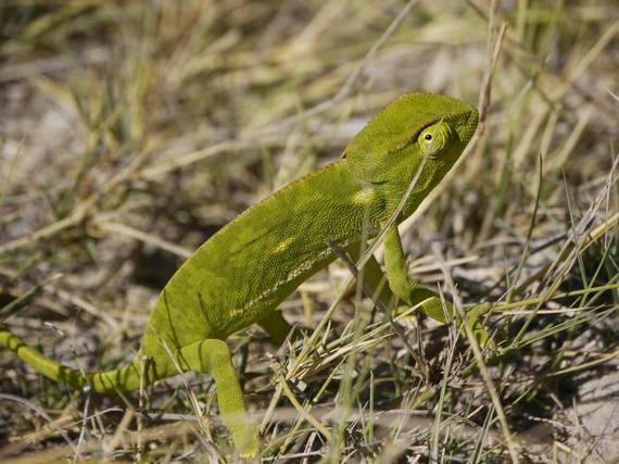 2014-12-31-Chameleon.jpg