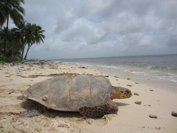2014-12-31-NicaraguaturtleadultEitosea.jpg