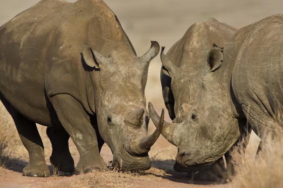 2015-01-02-rhinos_tnc_54151274_preview_cropped.jpg