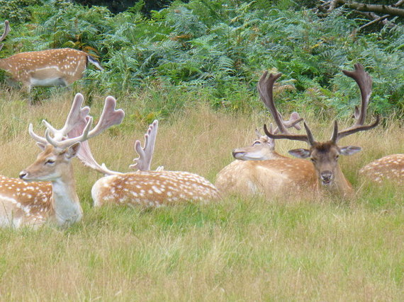 2015-01-08-Fallow_Deer_in_Richmond_Park__geograph.org.uk__507347.jpg