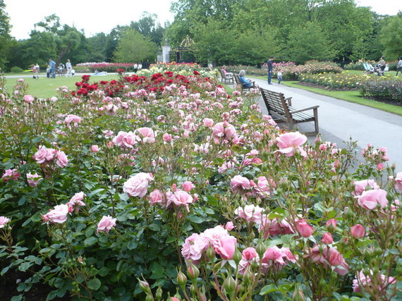 2015-01-08-Rosebeds_in_Queen_Marys_Gardens_Regents_Park__geograph.org.uk__1357781.jpg