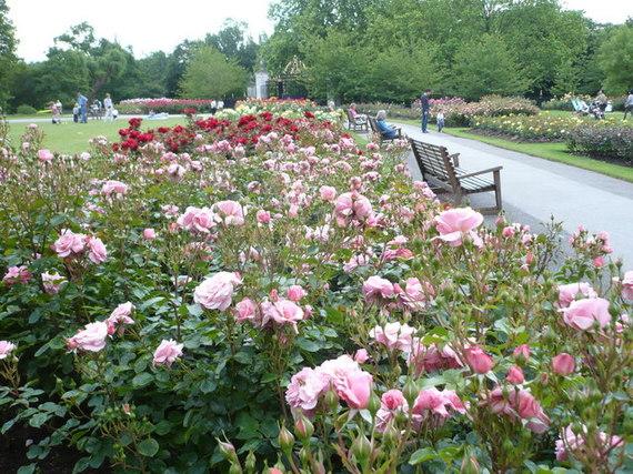 2015-01-08-Rosebeds_in_Queen_Marys_Gardens_Regents_Park__geograph.org.uk__1357781.jpg