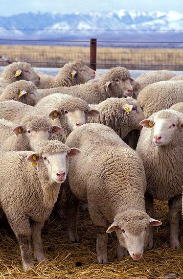 2015-01-22-Flock_of_sheep.jpg