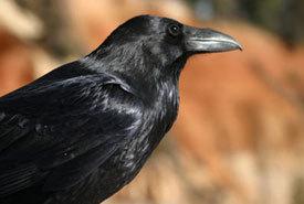 2015-01-22-corvuscoraxphotobywikimediacommonspcb21thumb.jpg