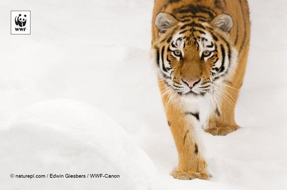 2015-01-23-150123wwf_tiger.jpg