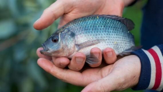 2015-01-25-Aquaponicsfishtilapiapowerhousehydroponics.jpg