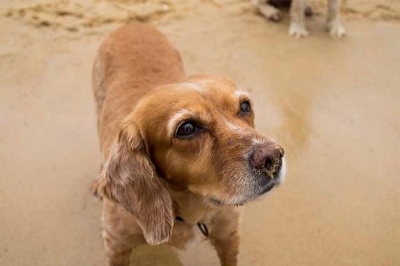 2015-01-28-16._sandy_nose_puppy_dog_retriever_beach_babe_pet_animals__1422422903_122671.jpg