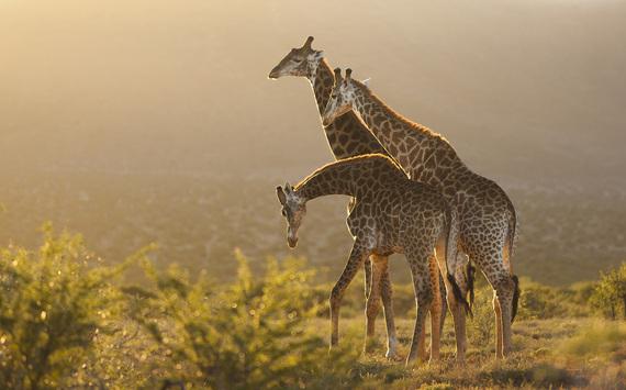 2015-01-29-GiraffeKarooSouthAfrica591asSmartObject1.jpg