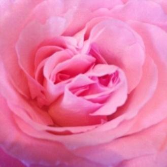 2015-01-29-Rose.jpg