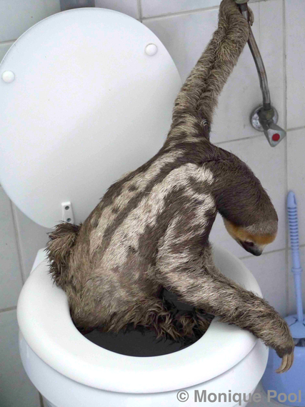 Extraordinatory Photos And Story Of Potty Trained Sloth