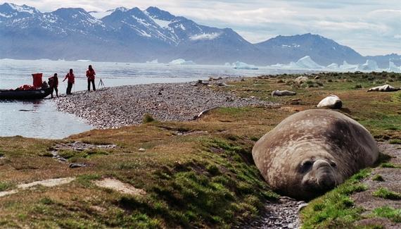 2015-02-02-Antarcticelephantseal.JPG