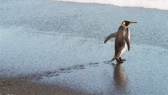 2015-02-02-Antarcticpenguinwalking.JPG