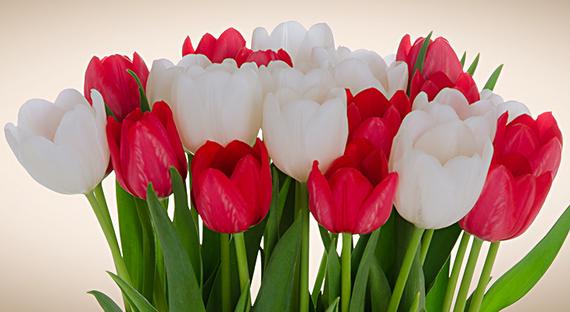 2015-02-03-TulipMixRedWhHome_crop.jpg