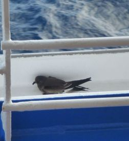 Injured Leach's Storm Petrel huddled by the railing of the cruise ship. Photo by David Latour