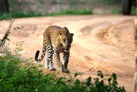2015-02-08-ltleopardstalking.jpg