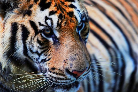 2015-02-09-TigerMain.jpg