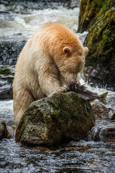 2015-02-11-salmonbeargreatbear.jpg