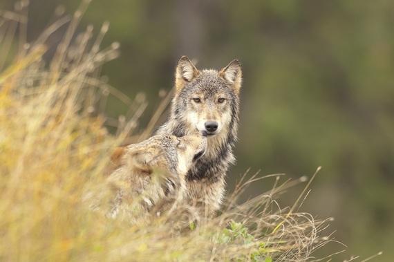 2015-02-11-wolves_2.jpg