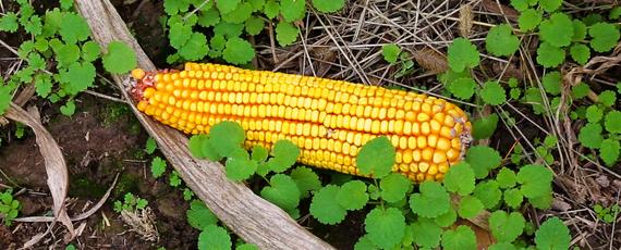 2015-02-12-Corn.jpg