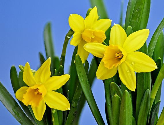 2015-02-13-Daffodils.jpg