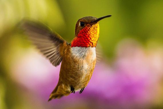 2015-02-16-2012_Allens_Hummingbird_LoiNguyen_AudubonPhotographyAwards.jpg