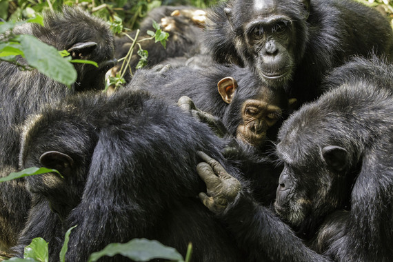 2015-02-22-07_chimpanzes_seance_epouillage.jpg