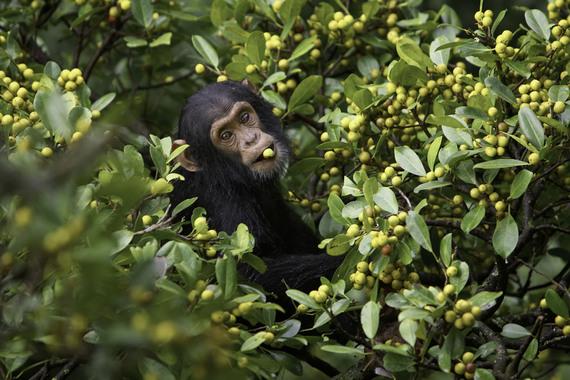 2015-02-22-10_jeune_chimpanze.jpg
