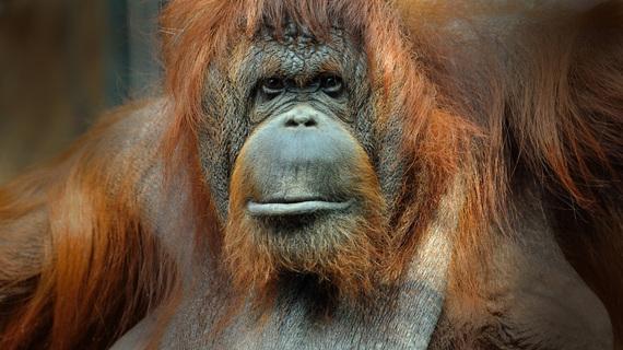 2015-02-22-14_orangoutan_de_borneo_femelle_adulte.jpg