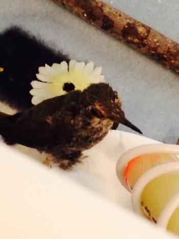 2015-02-23-hummingbirdbaby.JPG