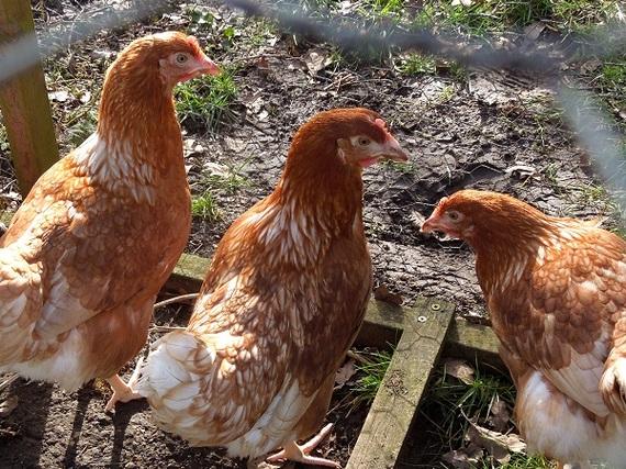 2015-02-24-hens3.jpg