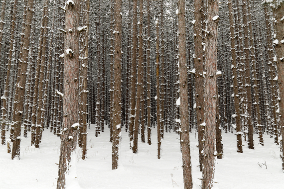 2015-02-26-PineTrees.jpg