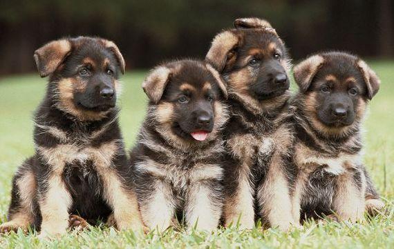 2015-03-02-Four_German_Shepherd_Puppies_637286.jpg