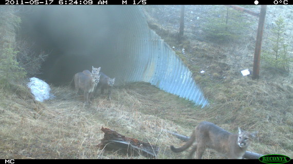 2015-03-02-TCW_1.3_Cougar_Family_Using_Underpass.jpg