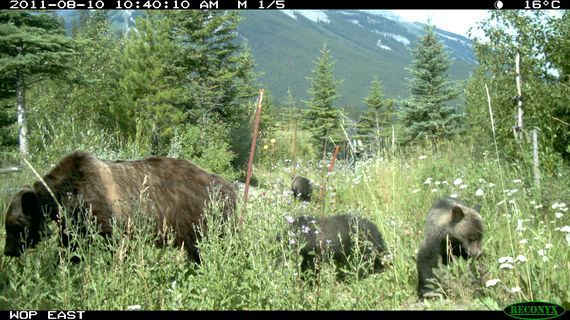 2015-03-02-TCW_1.4_Grizzly_Bear_andCubs_Using_Overpass.jpg