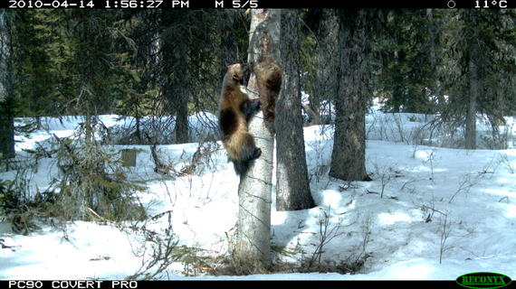 2015-03-02-TCW_6.2_Clevenger_Wolverine_Trail_Camera.JPG