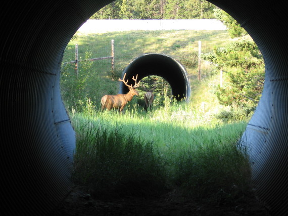 2015-03-02-elk20using20underpass.JPG