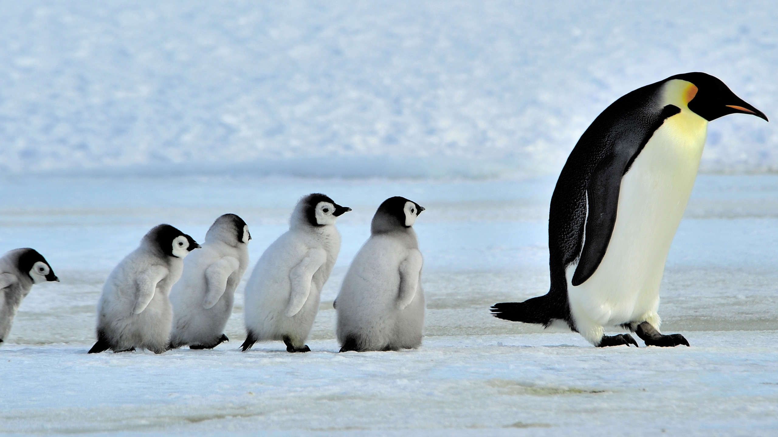 emperor penguins essay Climate change threatens penguins shaye wolf  emperor penguins can dive to depths of more than 520 m to find food—deeper than any other bird.