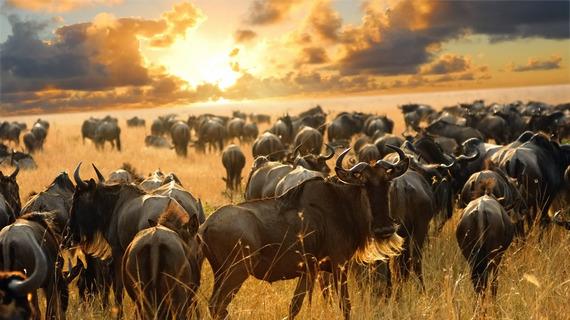 2015-03-06-1425660711-6115592-wildebeestdreamstime_xl_17312474.jpg