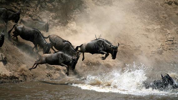 2015-03-06-1425660774-7022265-wildebeestmigrationrivercrossing105291096.jpg