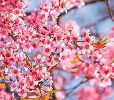 2015-03-11-1426086764-580503-CherryBlossoms.jpg