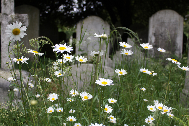 A Scattering of Daisies