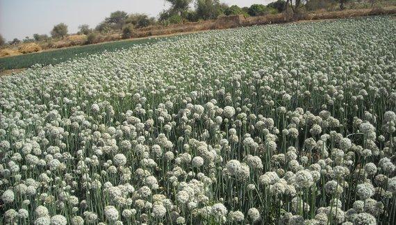 2015-03-17-1426617018-779422-Central.Chad.BOFSI.Ag.Onion_Plot.Africare.1_huffpostfeature.jpg