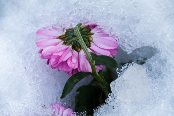 2015-03-20-1426819983-1039592-FlowerinSnow0374.jpg